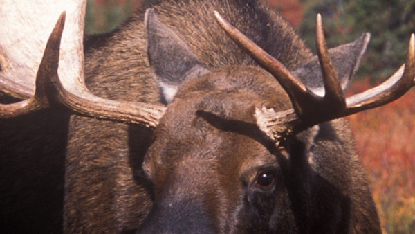 Alaskan Moose: A Journey With Giants